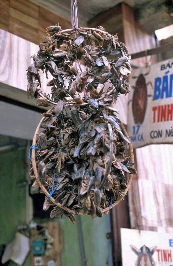 Hmyz s vietnamským jménem cà cuống (latinský Lethocerus indicus). Extrakt z tohoto hmyzu se dříve používalo často jako omáčka a dochucovalo do jídla.